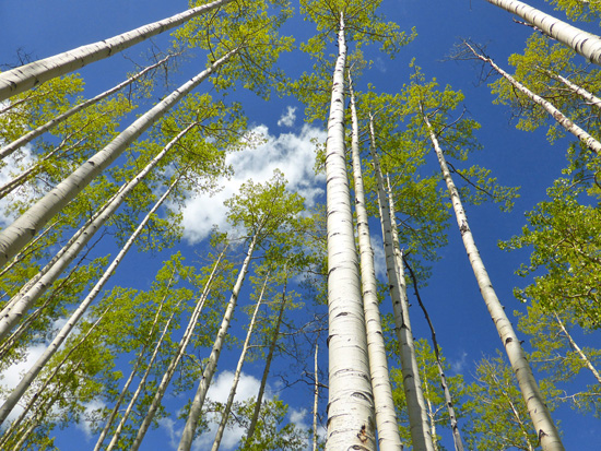 Aspen groves on the hike to Elk Falls